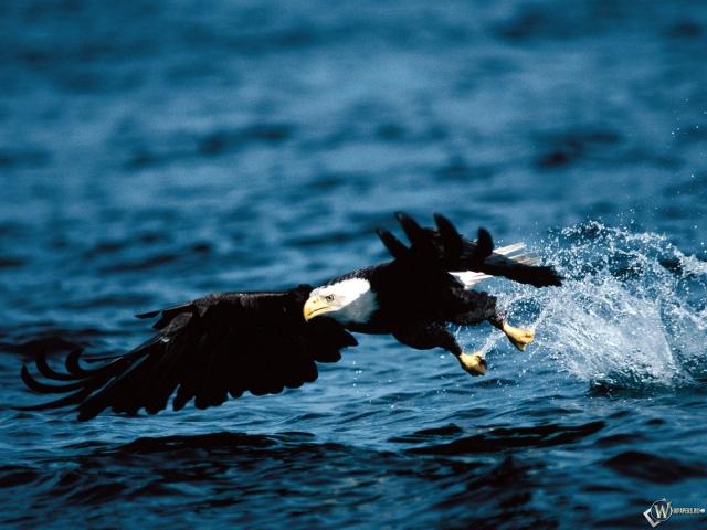 Орел ловит рыбу