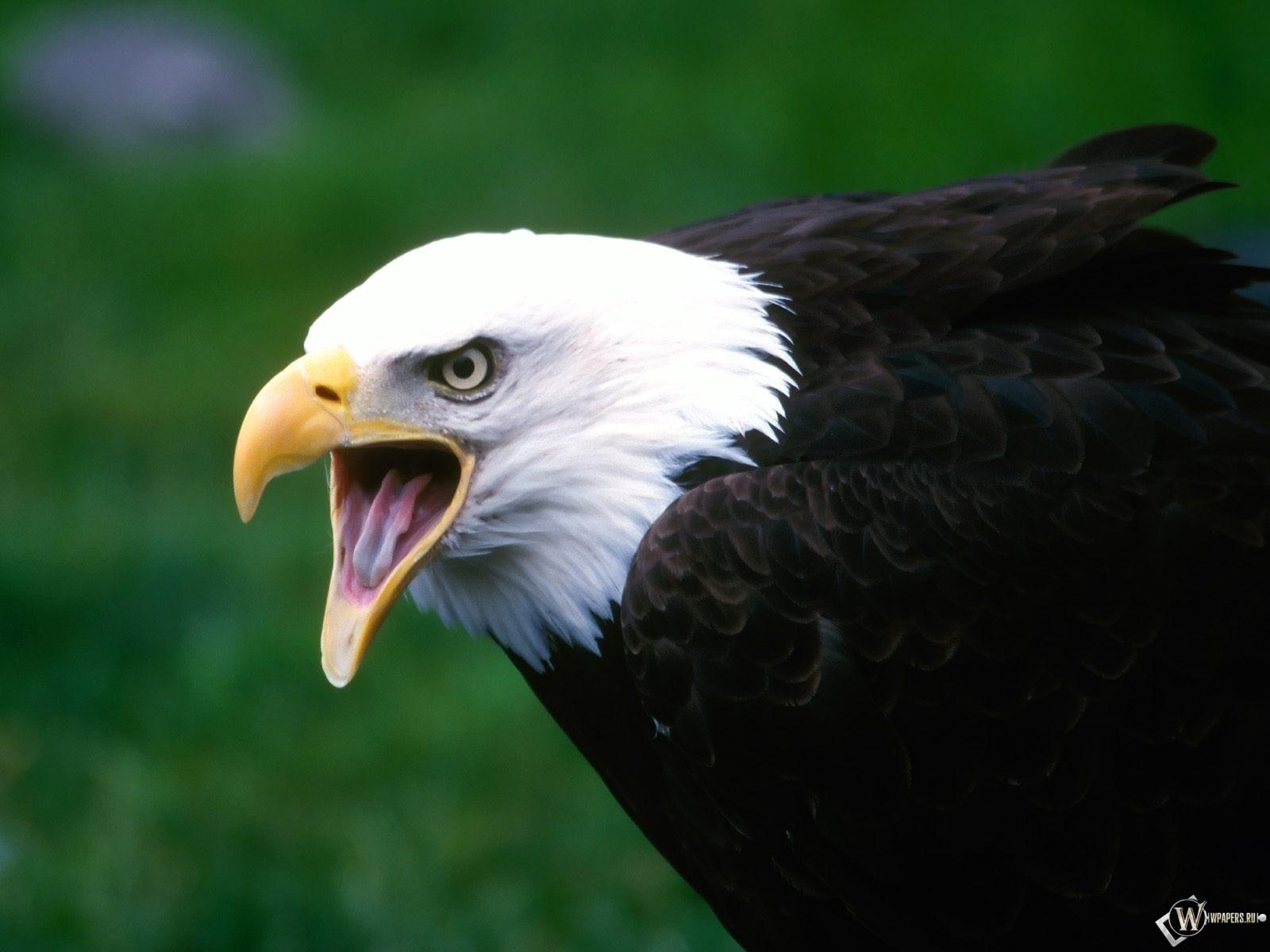 Кричащий орел 1600x1200