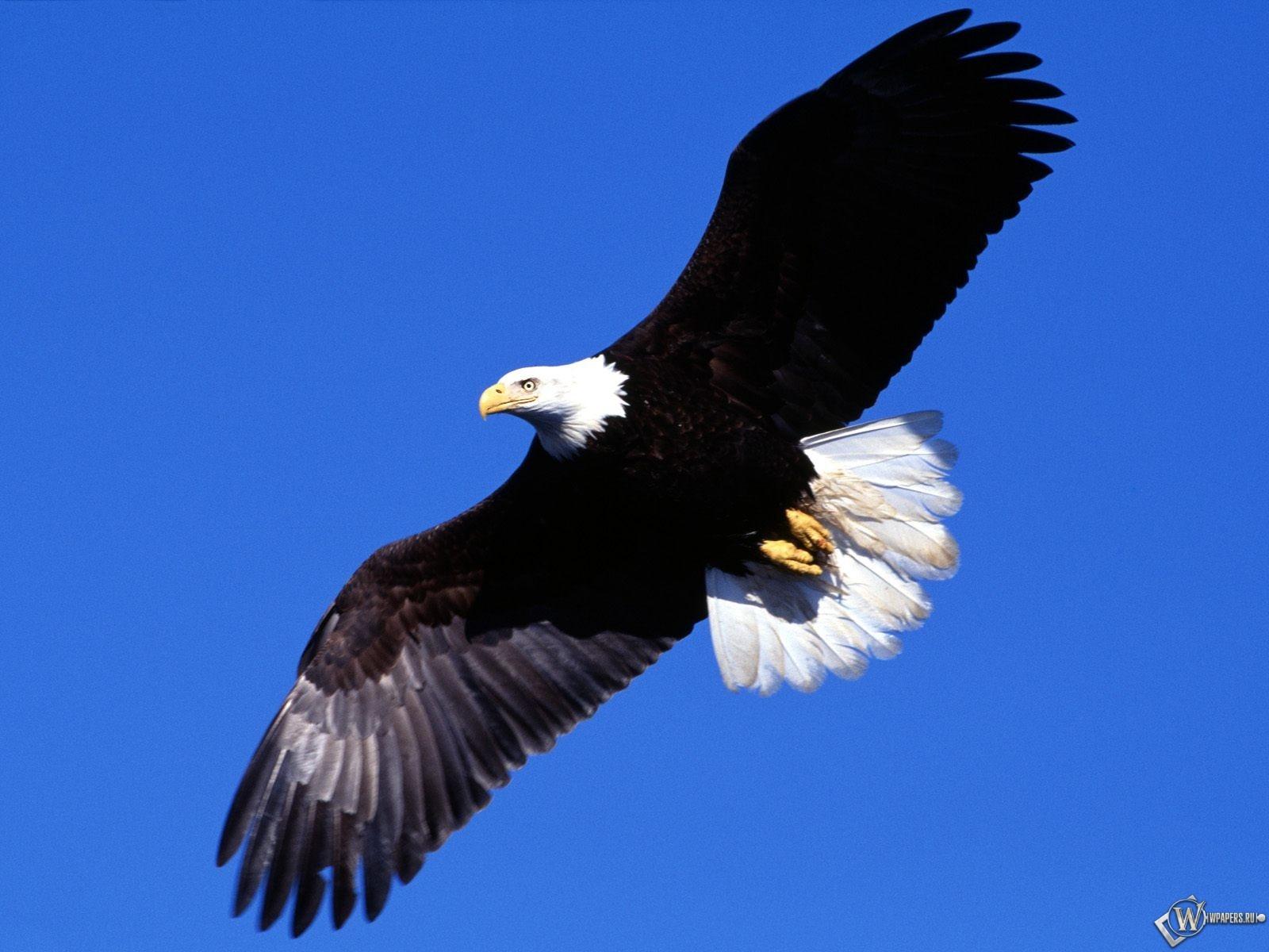 Орел в небе 1600x1200