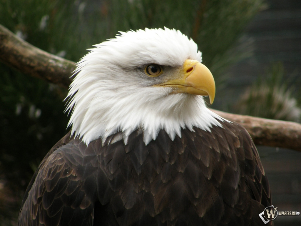 Беллоголовый орел 1024x768