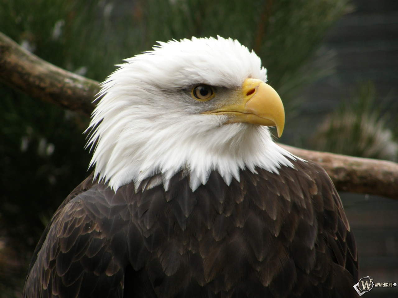 Беллоголовый орел 1280x960