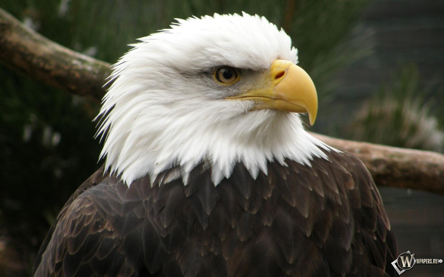 Беллоголовый орел 1536x960