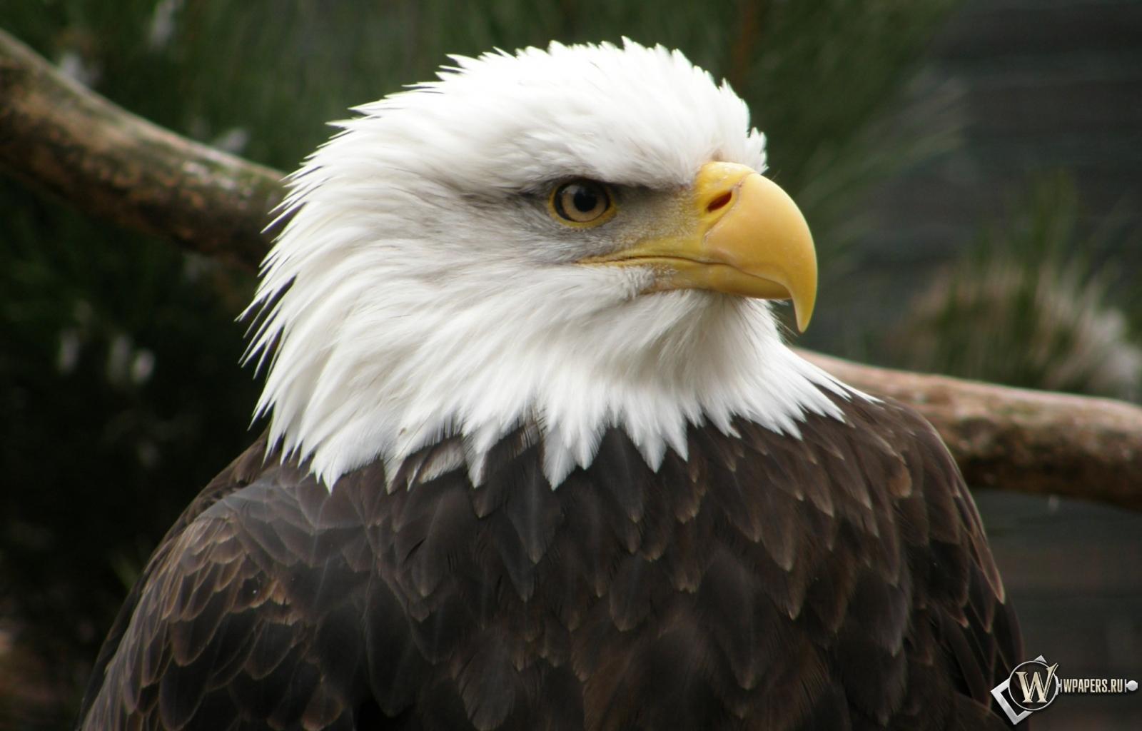 Беллоголовый орел 1600x1024