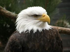 Беллоголовый орел