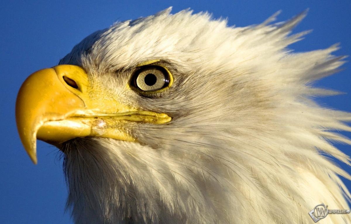 Голова орла 1200x768