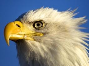 Обои Голова орла: Птица, Небо, Орёл, Клюв, Орлы
