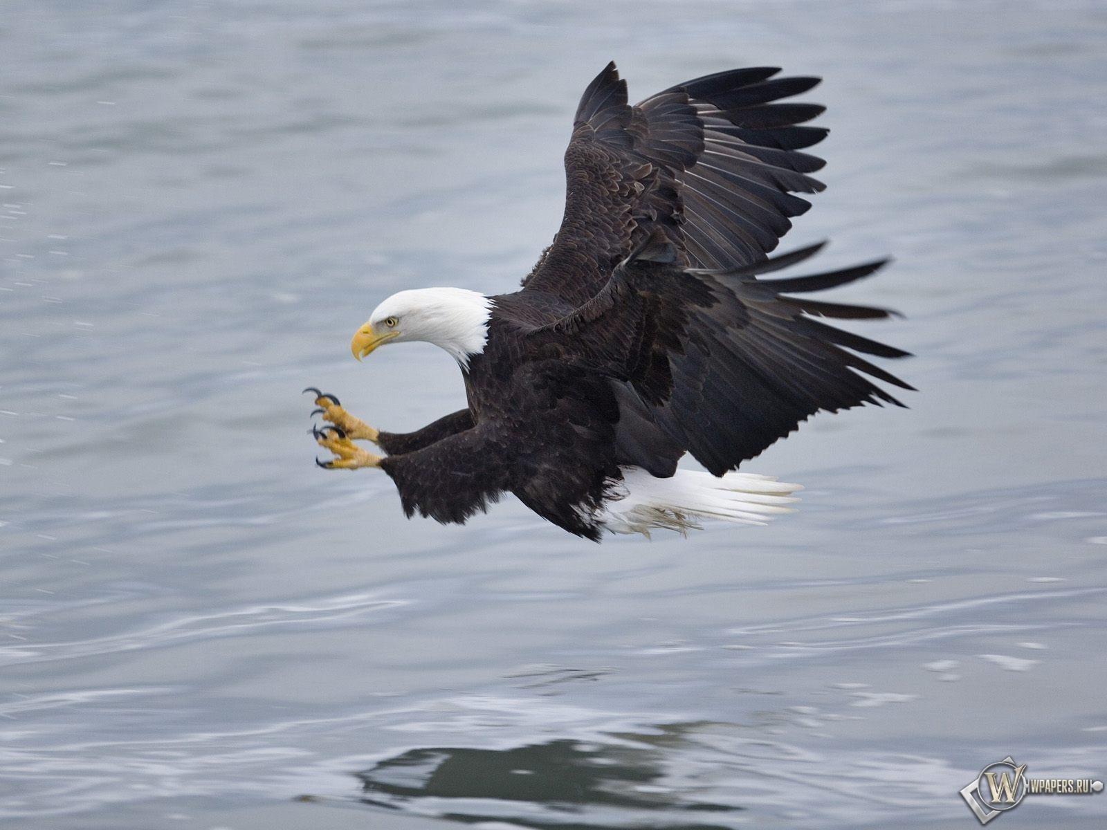 Орел охотится 1600x1200