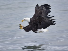 Обои Орел охотится: Птица, Орёл, Охота, Орлы