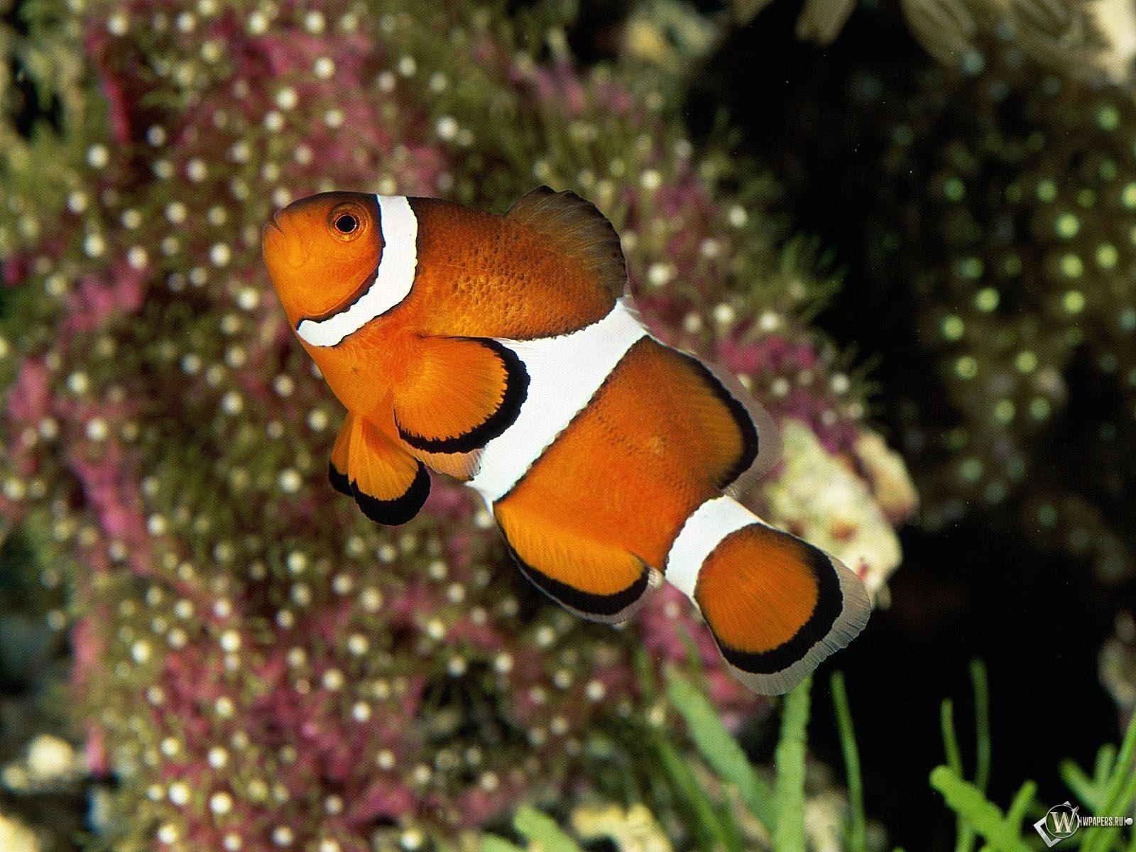 Рыба клоун 1600x1200