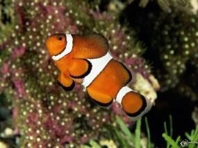 Обои Рыба клоун: , Рыбы