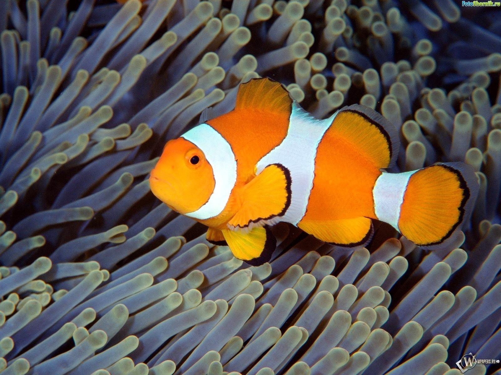 Рыбка-клоун 1600x1200