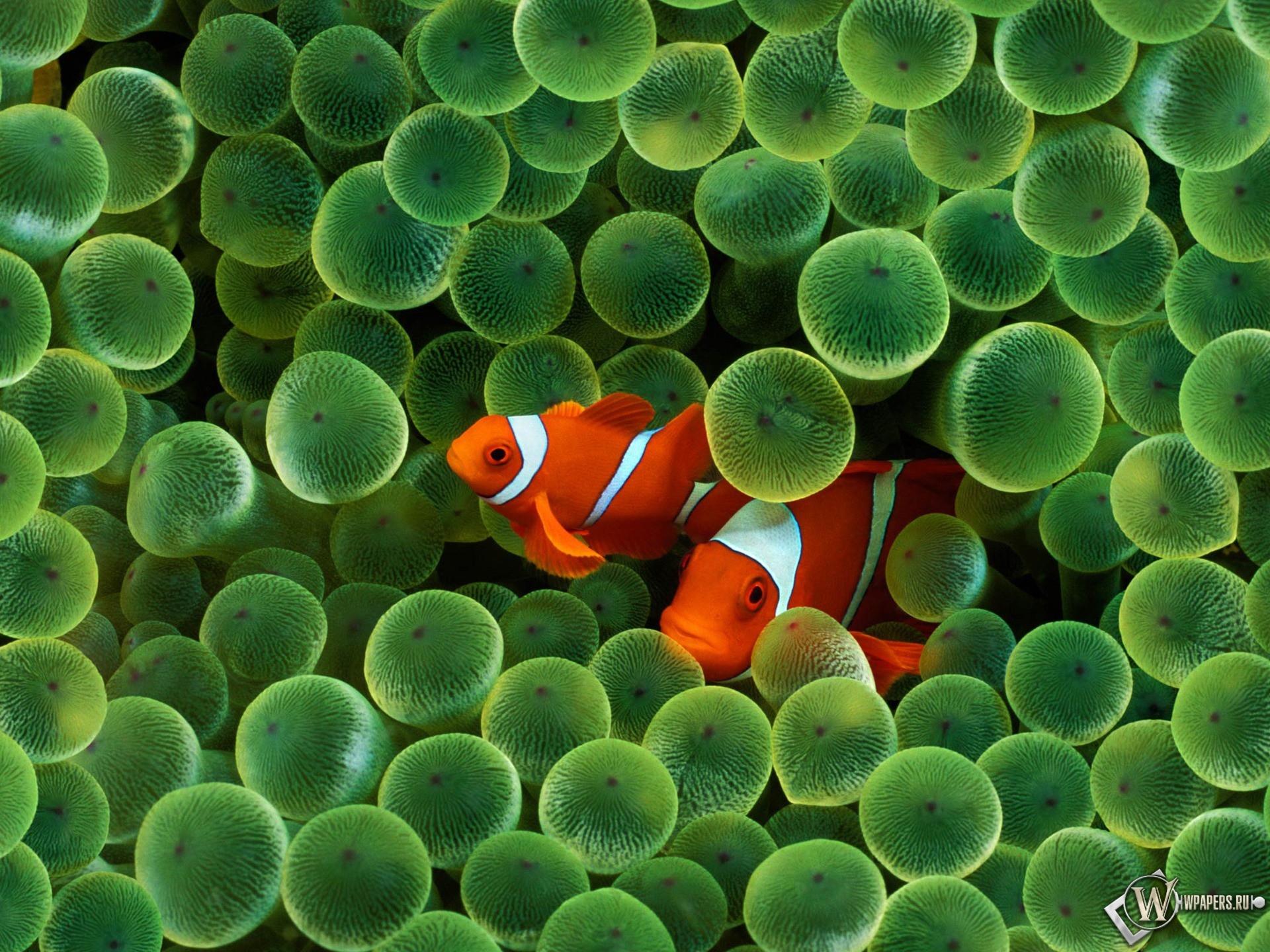 Рыбы клоуны (Clown Fish) 1920x1440