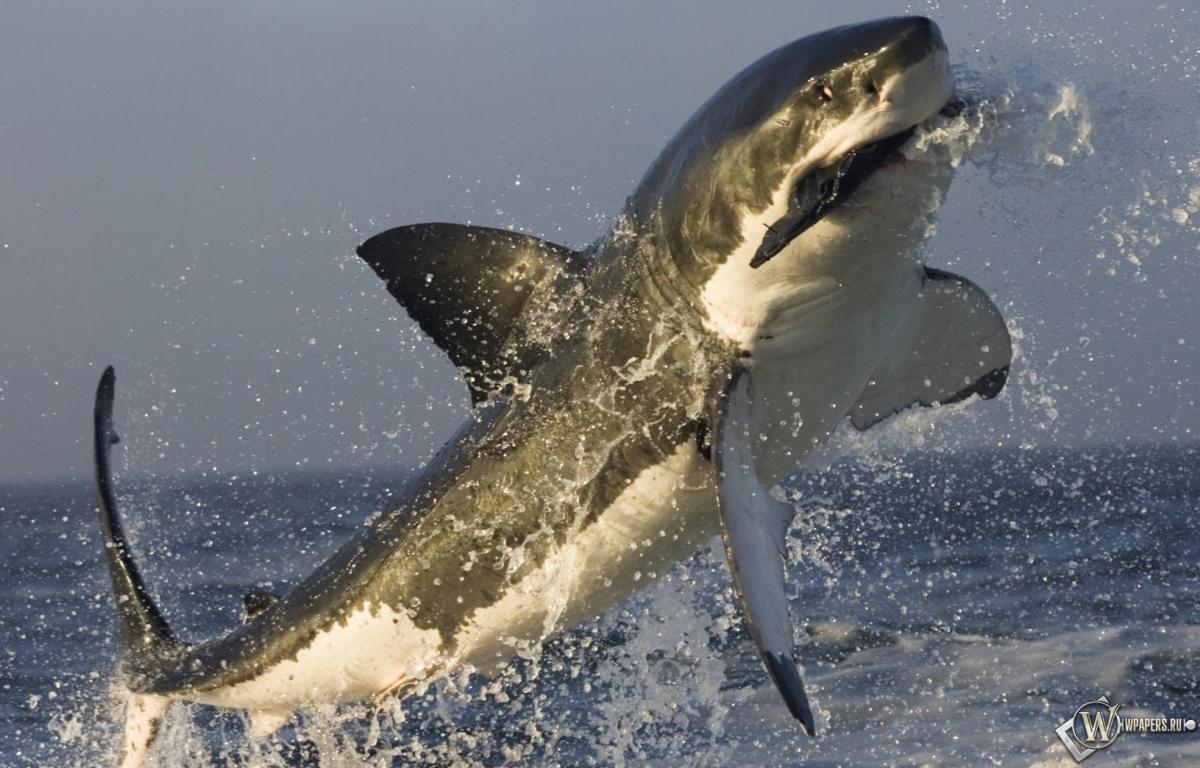 Акула в прыжке 1200x768