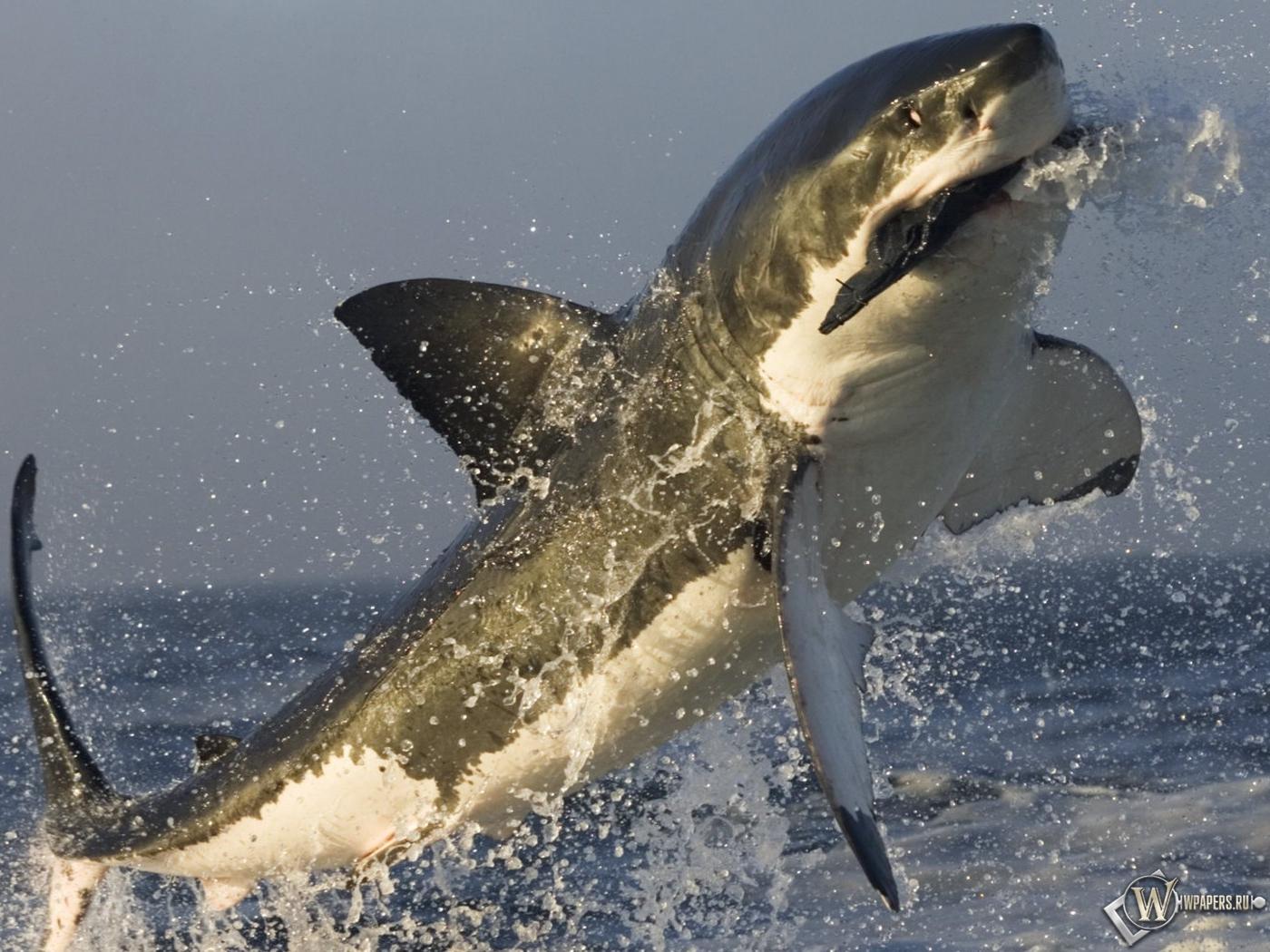 Акула в прыжке 1400x1050