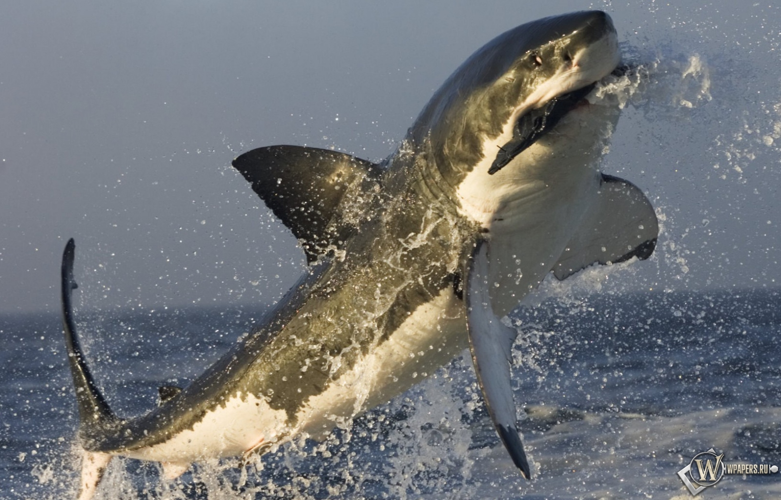Акула в прыжке 1600x1024