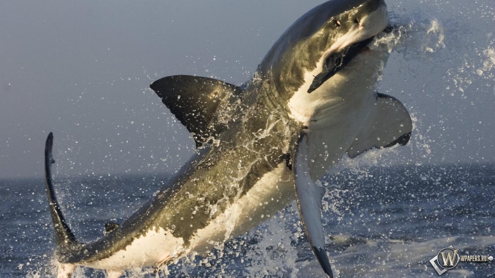 Акула в прыжке 1600x900