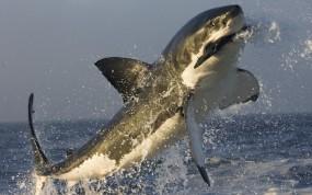 Обои Акула в прыжке: Прыжок, Акула, Shark, Рыбы