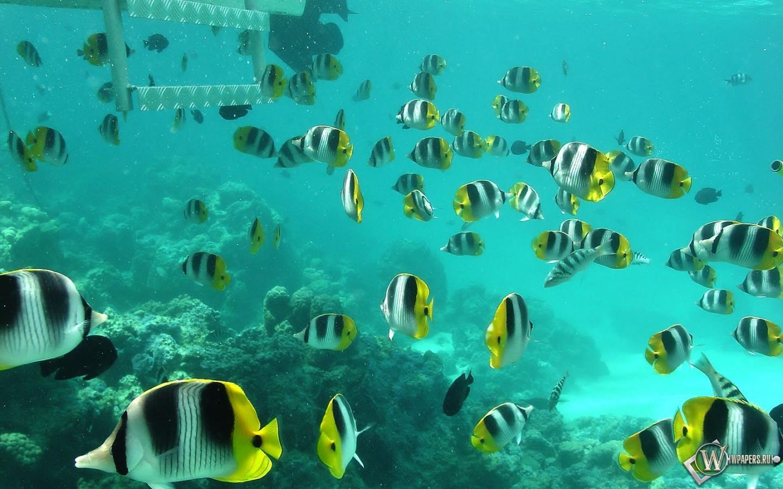 Полосатые рыбки 1440x900