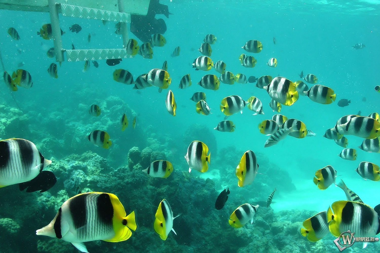 Полосатые рыбки 1500x1000