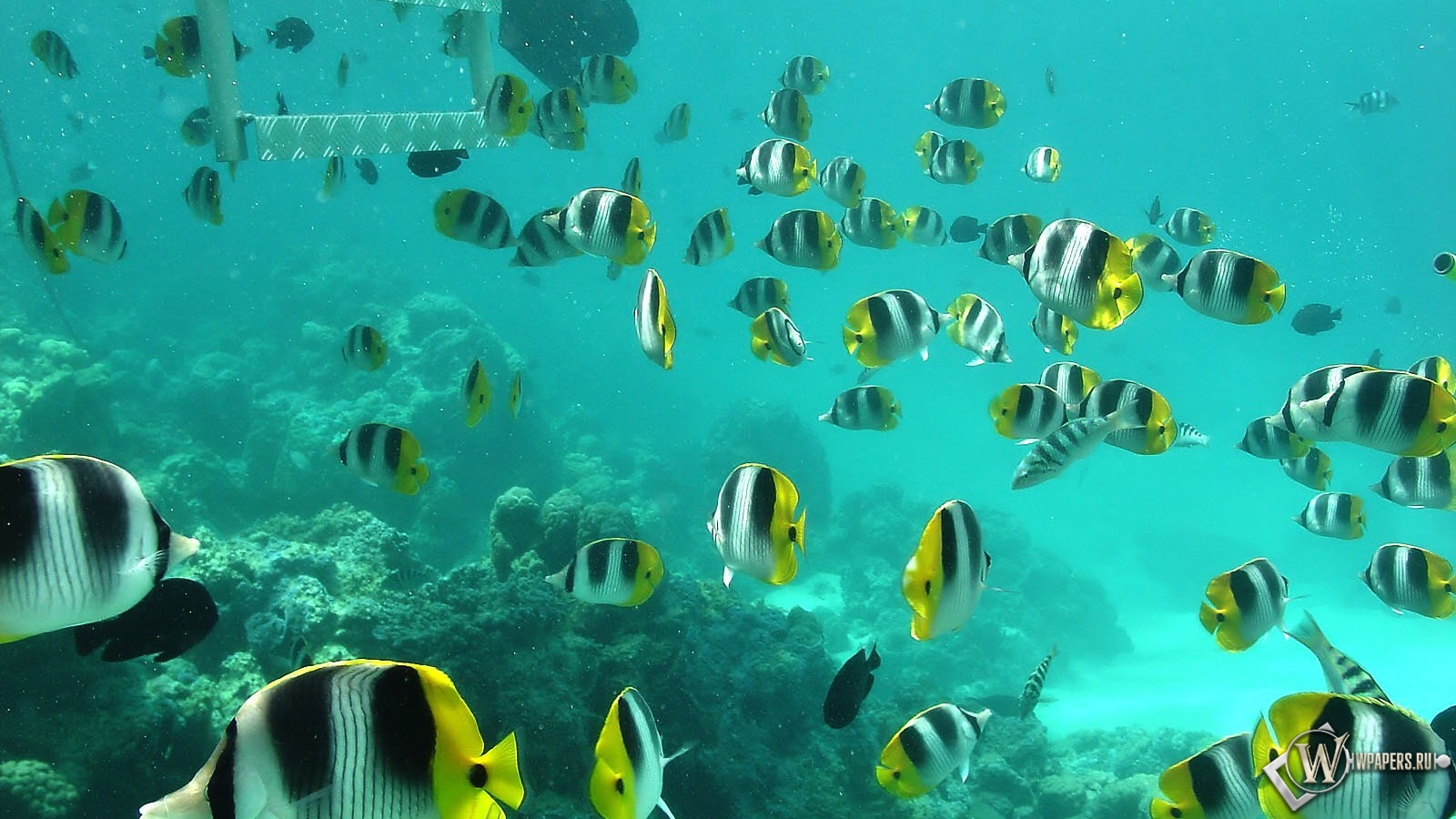 Полосатые рыбки 1600x900