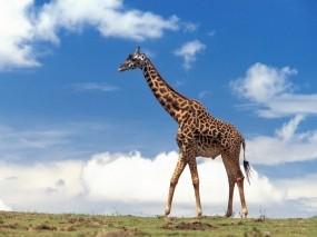 Обои Жираф: Облака, Небо, Жираф, Жирафы