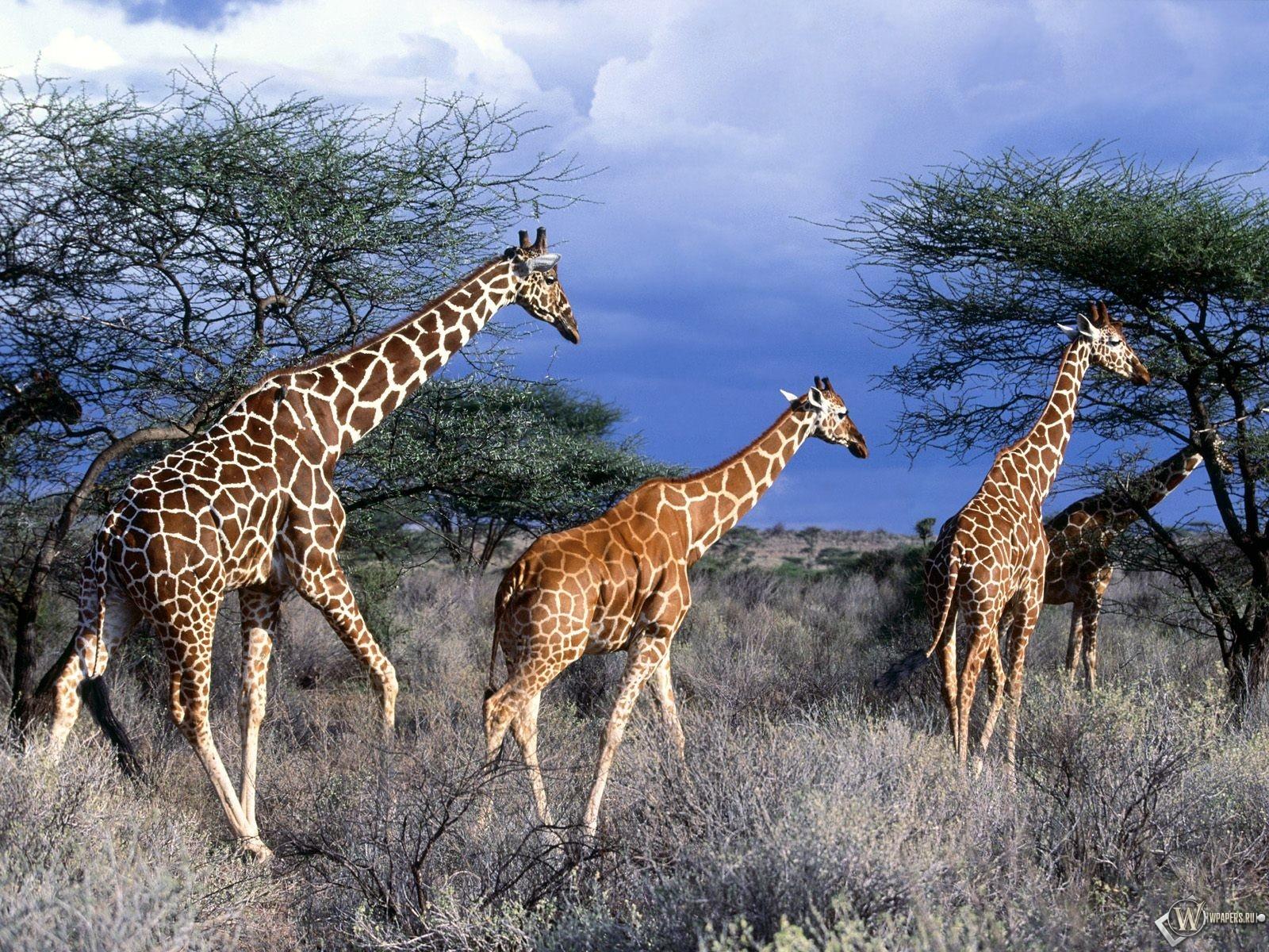 Три жирафа 1600x1200