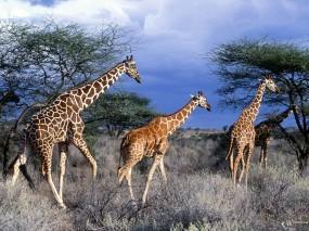 Обои Три жирафа: Жирафы, Стая, Жирафы