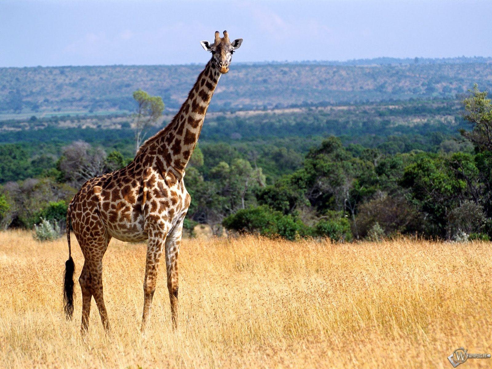 Жираф на лугу 1600x1200