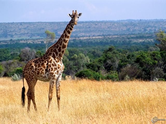 Жираф на лугу