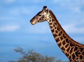 Обои Шея жирафа: Шея, Жираф, Голова, Жирафы