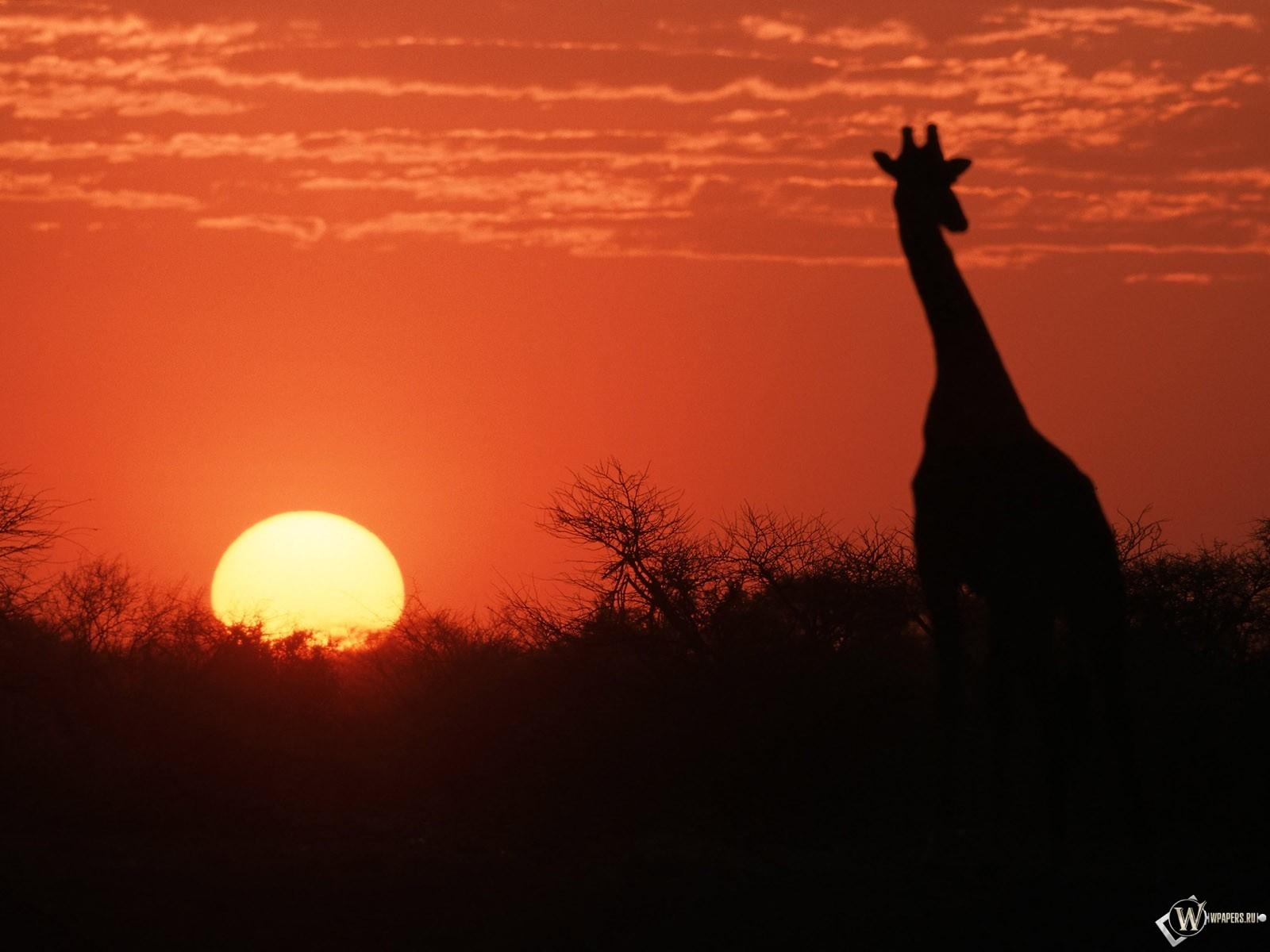 Жираф на закате 1600x1200