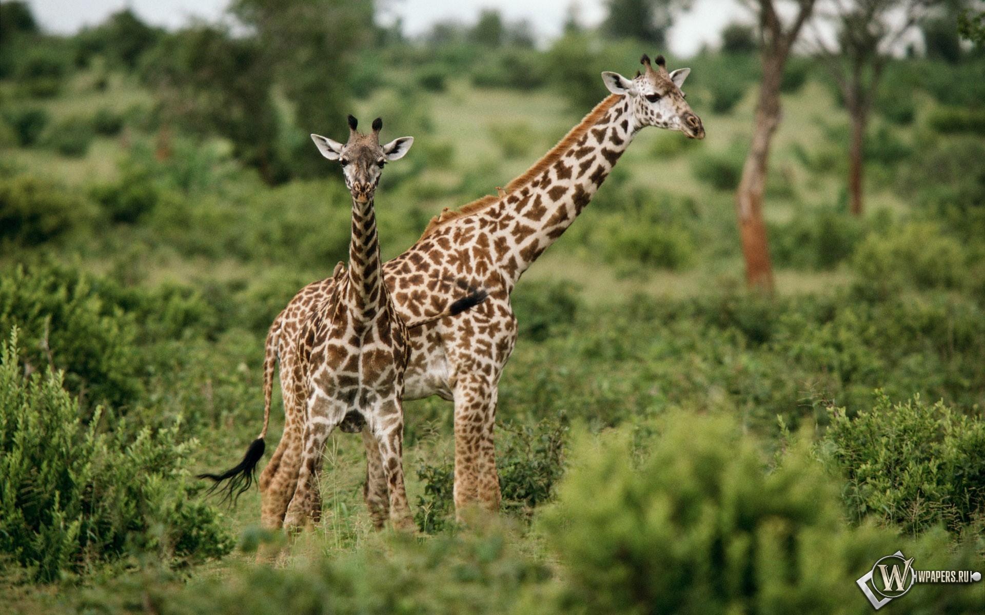 Жирафы на травке 1920x1200