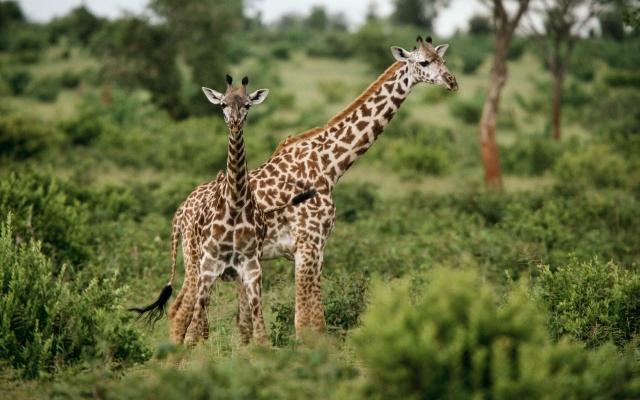Жирафы на травке