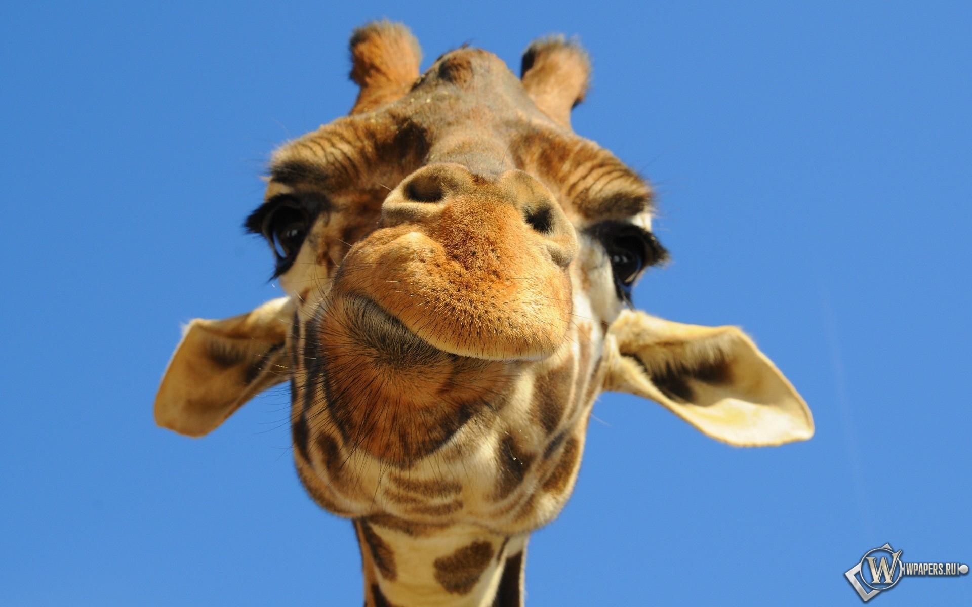 Морда жирафа 1920x1200