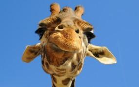 Обои Морда жирафа: Морда, Небо, Жираф, Жирафы