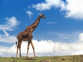 Обои Жираф: Природа, Небо, Жираф, Жирафы
