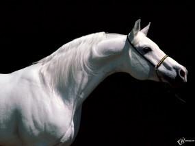 Обои Белая лошадь в профиль: , Лошади