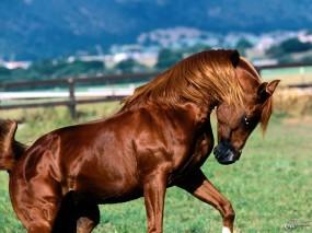 Обои Конь играет: , Лошади