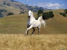 Обои Белый конь бегает в поле: , Лошади