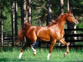 Обои Серый конь: , Лошади