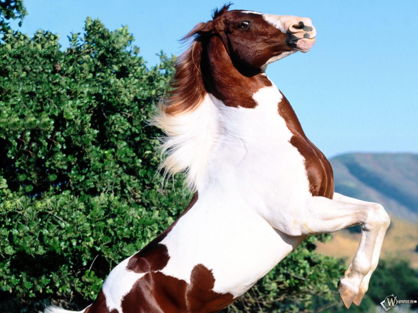 Конь встал на задние лапы 1600x1200