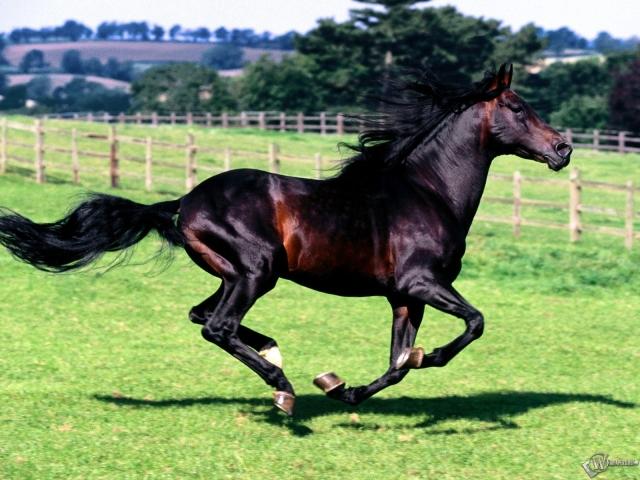 Караковый конь скачет