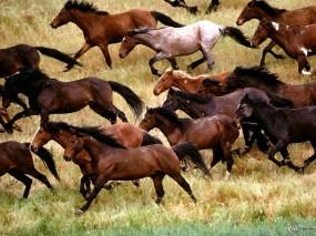 Обои Табун лошадей: , Лошади