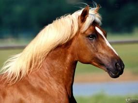 Обои Лошадь с белой гривой: , Лошади