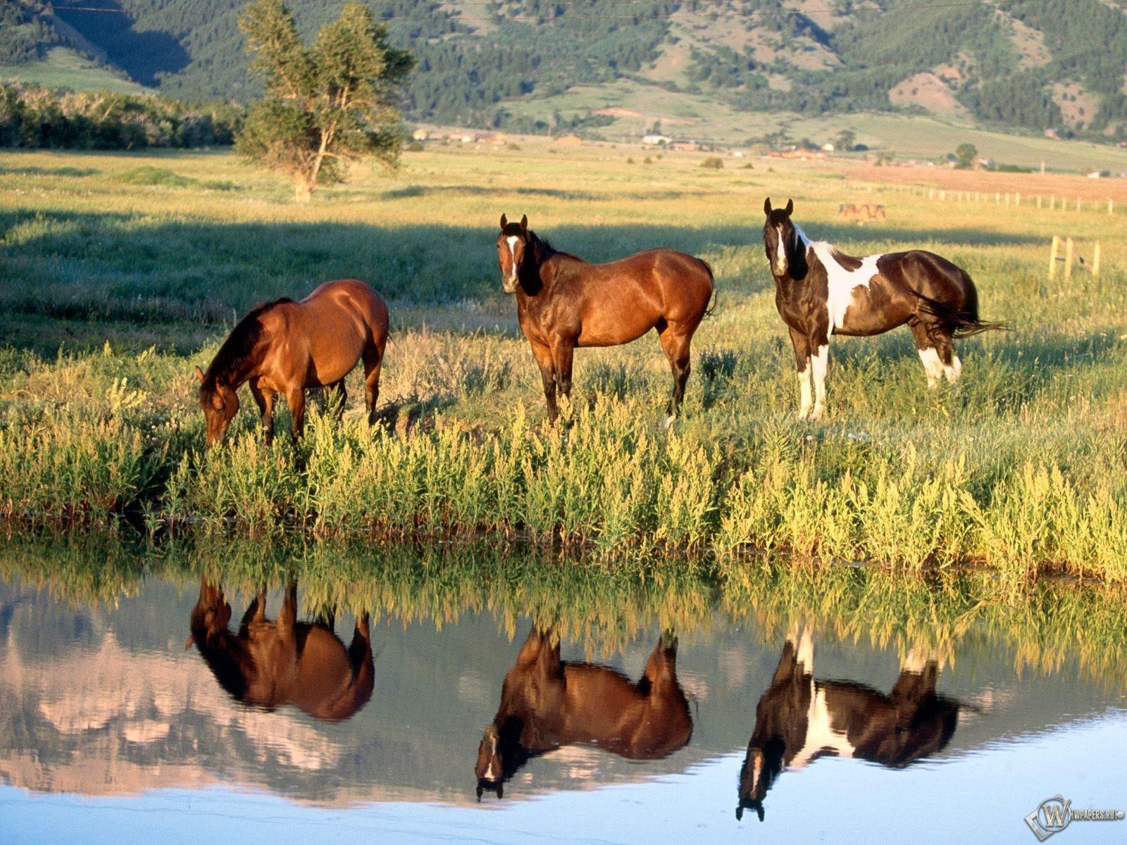 Лошади на водопое 1600x1200