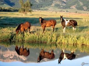 Обои Лошади на водопое: , Лошади