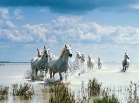 Обои Белые лошади на переправе: , Лошади