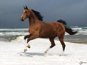 Обои Лошадь бегущая по волнам: , Лошади