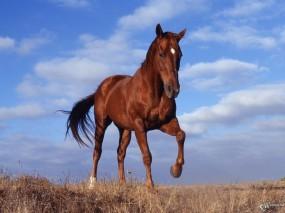 Обои Конь в поле: , Лошади