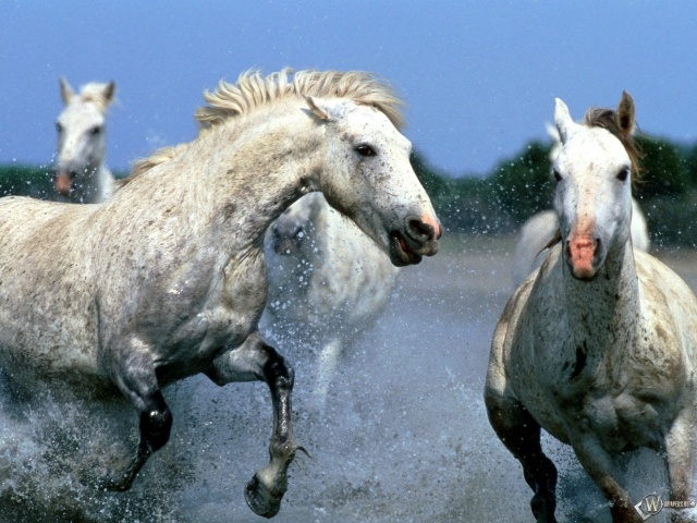 Лошади бегут по воде